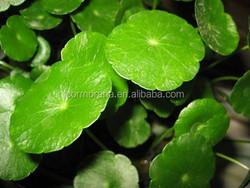Pure Gotu Kola extract,Asiaticoside 10%~90%, Total Triterpenes 10%~80%