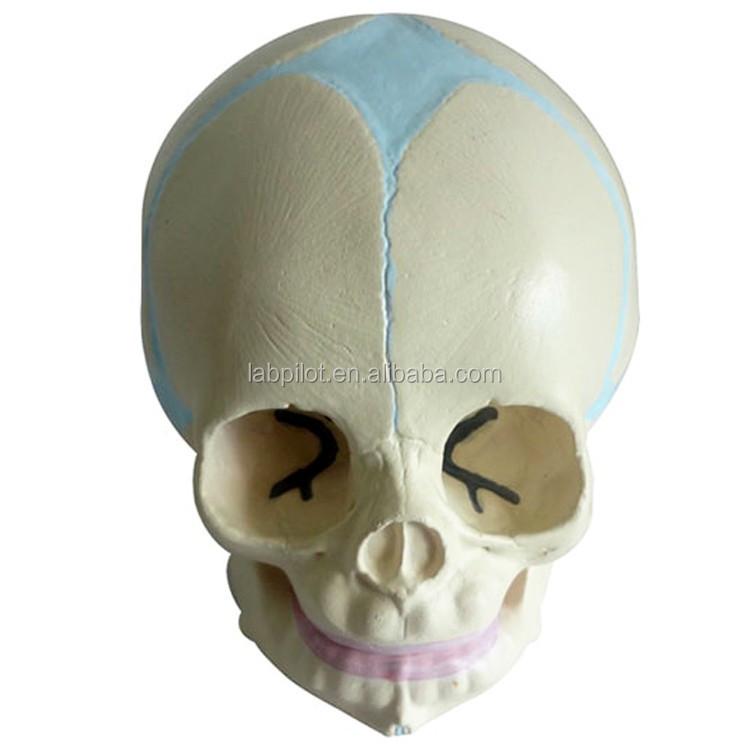 Infant Skull Model,Baby Skull Model,Skull Anatomy Model - Buy Infant ...