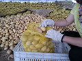 pommes de terre fraîches pommes de terre holland
