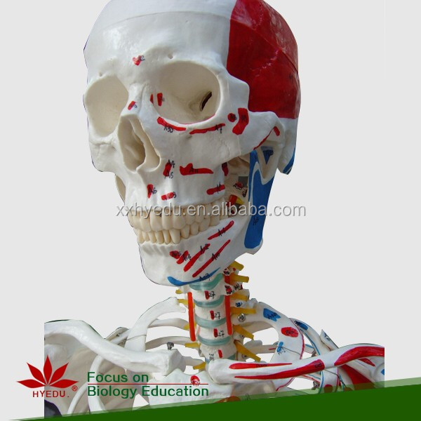 Human skeleton model with colored muscle