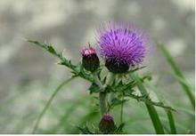 Japanese Thistle Herb Extract/Herba Cirsii Japonici / Radix Cirsii Japonici