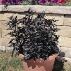 Uncle Crackers Hot Chilli - Black Pearl Seeds x 10