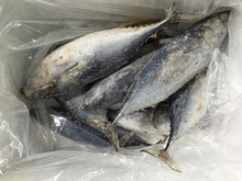 High Quality Seafood Frozen Fish Pacific Bonito Size 500