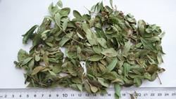 Blueberry leaf Folium Vaccinium uliginosum herb xiong guo ye yue ju ye