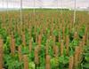 Cane pole plant for garden