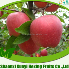 Fresh Red Shanxi Qinguan Apples Import From China