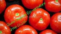 export china tomato farm direct sale