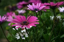 Manufacture Price Echinacea Purpurea Extract With Polyphenols 4%