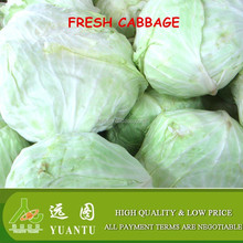 supplying fresh cabbage to export