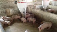 feeding line pig dry wet feeder pig equipment wet a trough
