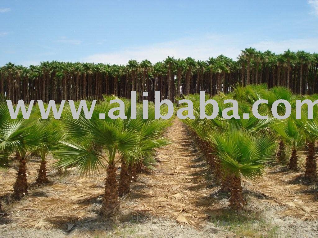 washington palme washingtonia robusta waldige anlagen. Black Bedroom Furniture Sets. Home Design Ideas