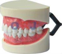 dental teeth and jaw models