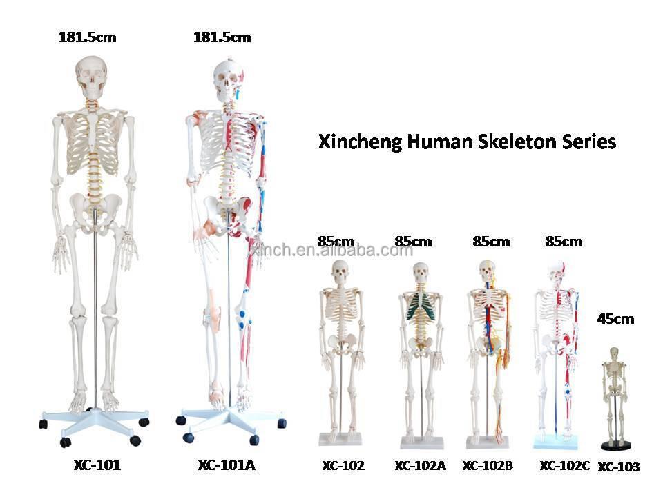 Human skeleton series