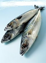 Frozen Indian Mackerel Fish