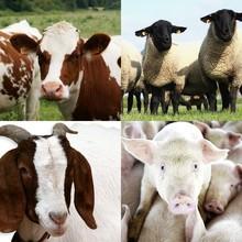 Livestock : Lamb, Shep, Beef, Pork, Cattle, etc