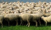 Sheep live,price CIF for any Middle East ports