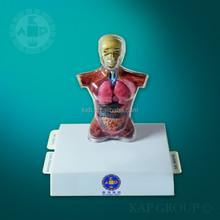 Plastic human body anatomy model male torso with organs medical torso