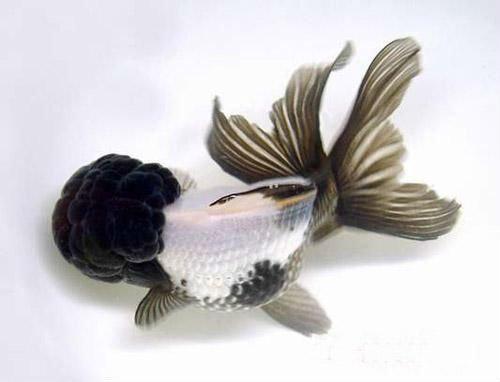 Live Goldfish-black White Oranda - Buy Goldfish Product on ...