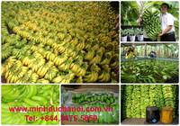 Cavendish Banana Top brand from MDH