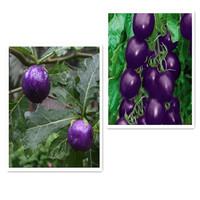 20pcs Family vegetable seed Purple Cherry Tomato Garden Organic Fruits Plants heath Vegetables Seeds