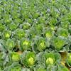 fresh cabbage round cabbage