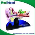 Mfm031 China fornecedor Pvc de alta qualidade novo estilo humano modelo de orelha gigante