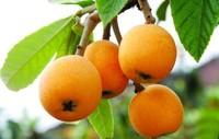 Wholesale medicinal herbs Ursolic acid supplier Eriobotrya japonica leaf extract