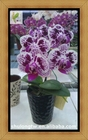 "Miniatura roxo variegada Phalaenopsis fábrica em 1.7 "" ou 6 cm pote Taiwan Orchid berçário Mini orquídea"