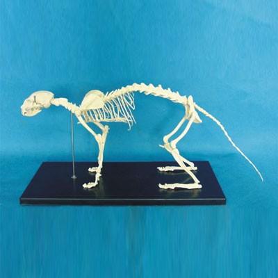 Cat skeleton model w plastic stand.jpg