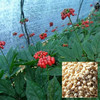 ren shen zhong zi ginseng seeds packed herb seeds