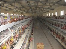 chicken cage/egg collection/drinking system/manure removal system for layer/broiler/breeder