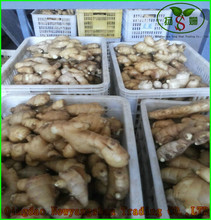 best-selling southeast Asia Europe and the United States: Dry Ginger Fresh ginger
