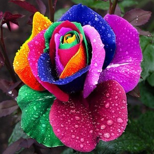 seeds rose flower rainbow rose seeds all colors for
