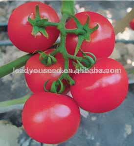 JT22 Nobel sementes determinado híbrido de tomate f1 plantio de estufa