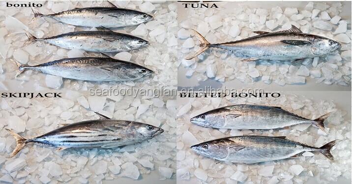 canned for bonito fish( bonito tuna loins)
