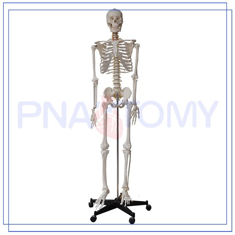 Pnt 0101h 45cm 85cm 175cm Medical Anatomical Human Skeleton Model