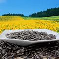 Chino semillas de girasol 5009 forma alargada 270 unids / 50 G