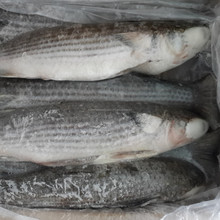 Hot Selling Frozen Whole Round Gutted Grey Mullet Fish 1-2kg/pc
