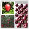 Paper bagged red fresh huaniu apple fruit in china with reasonable price