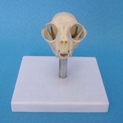 Cat skull model w plastic stand.jpg