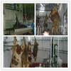 halal abattoirs slaughter for cattle
