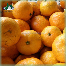 Factory price supply canned hybrid citrus fruit