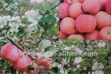 atacado doce de maçã fuji nome científico de frutas