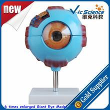 6 Times Enlarged Giant Eye Model