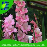 Easy survival big flower Sword Lily bulbs price