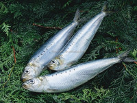 good quality sardine fish with competitive price for sale