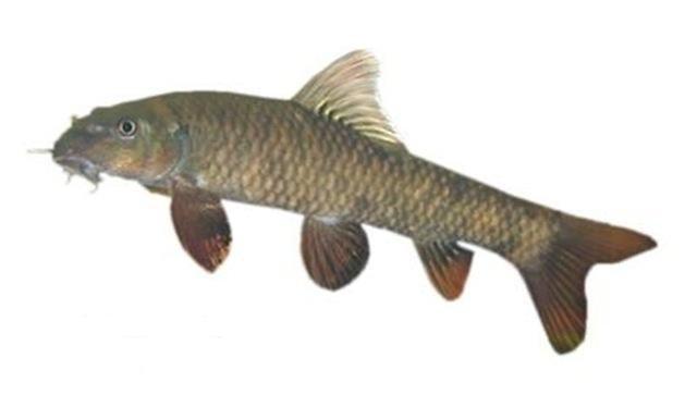 Garra rufa poisson de m decin vendre autres produits de for Doctor fish for sale
