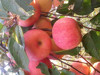 Fresh Amla Apple Fruits Hot Sale In Middle East