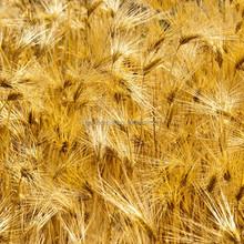 Barley malt powder extract/ Hordenine 98%HPLC/powder
