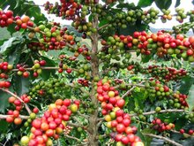COFFEE BEANS FROM VIETNAM